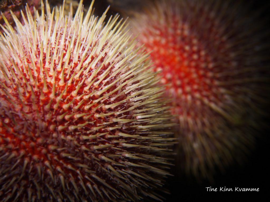 Rød kråkebolle