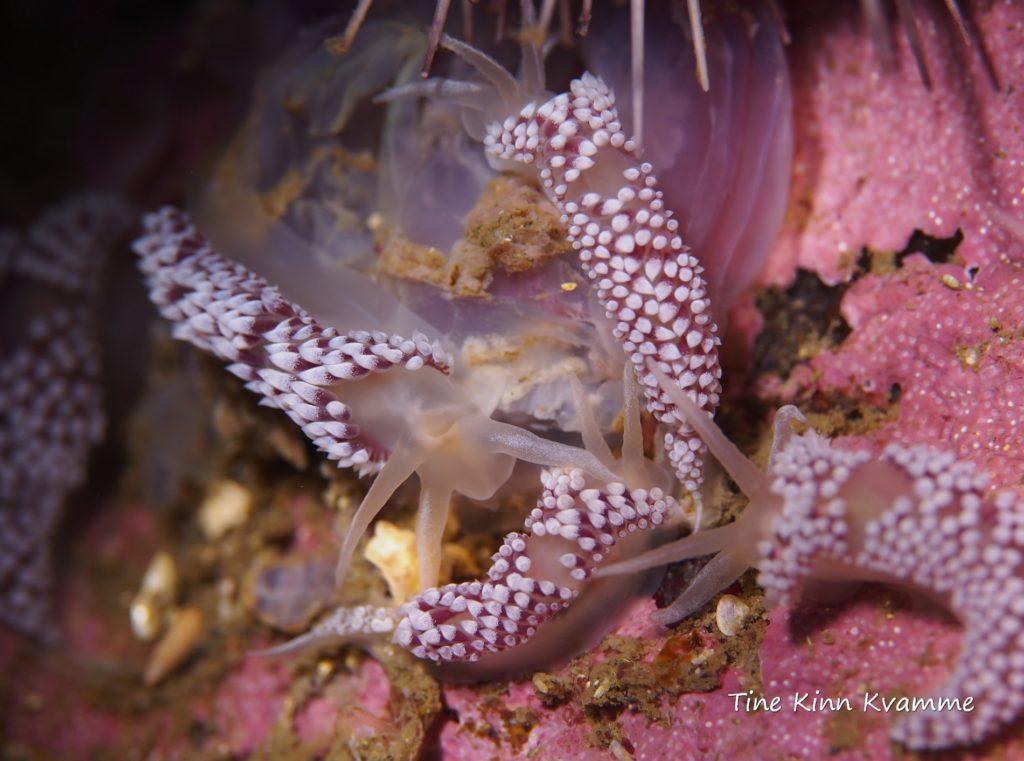Nakensnegler spiser manet